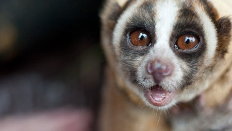 ht_slow_loris_animal_endangered_species_main_thg_121116_wblog